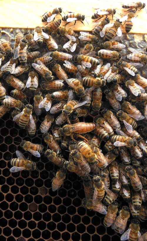 The BCBA newsletter this month is featuring photos of the queen bee taken by Doug Hardwick.
