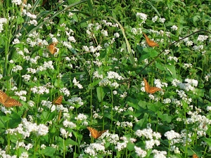 Your buckwheat will likely attract a legion of butterflies.