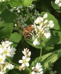 A honeybee on a buckwheat bloom