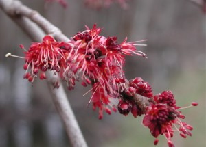Red maple has a bloom on it that appears as early as January.