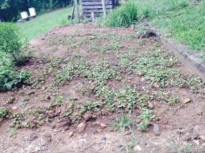 Doug Hardwick's patch of buckwheat.