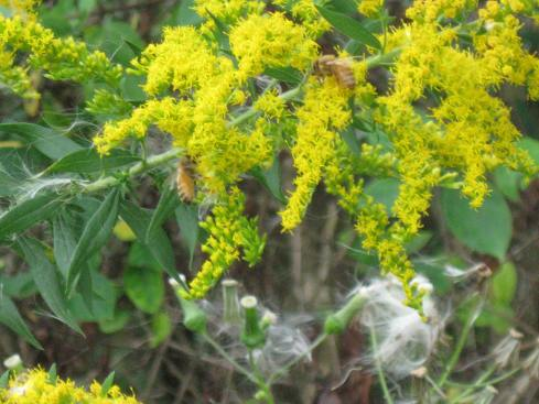 Honeybees on goldenrod
