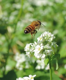 A bee on the buckwheat. Photo by Doug Hardwick