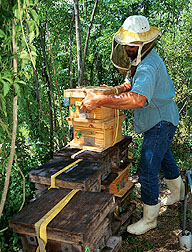 On Marsh Island, Louisiana, an isolated ARS research facility used for producing pure stocks of Russian bees, technician Gary Delatte prepares hives for transport. Photo by Scott Bauer. (U.S. Dept. of Agriculture)