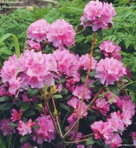 Rhododendren (University of Illinois)